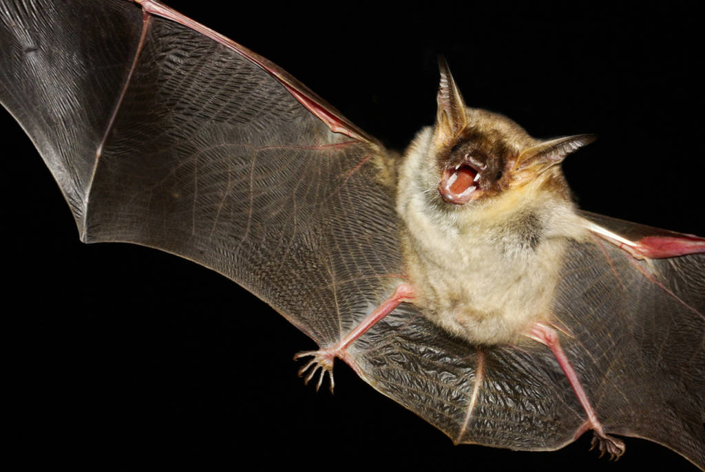 Bat isolated in black