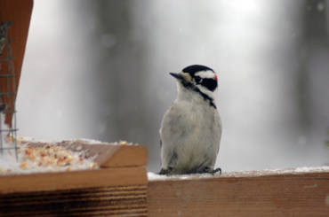 Downy Woodpeckers