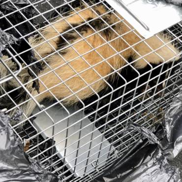 Skunk Removal – Fairfield County, CT