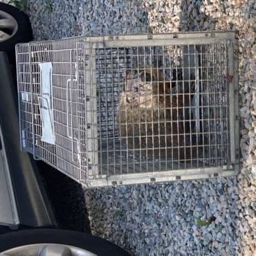 Woodchuck Removal-Westport, CT