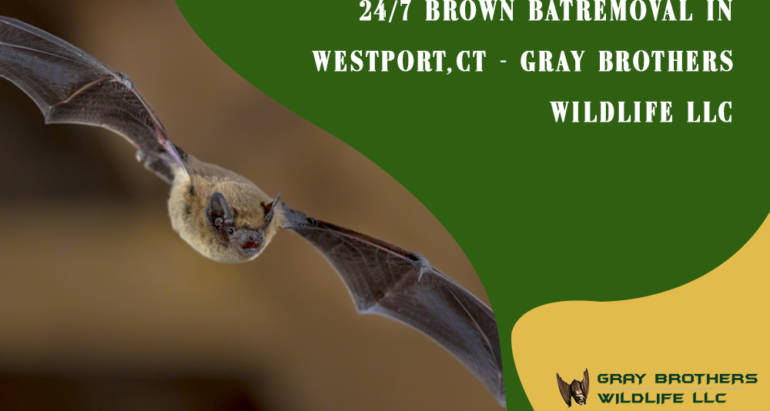 24/7 Brown Bat Removal in Westport, CT – Gray Brothers Wildlife LLC
